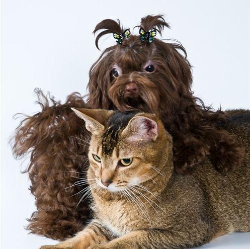 Русская цветная болонка с котом