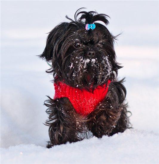 Русская цветная болонка на снегу