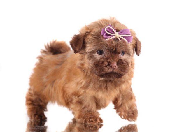 Русская цветная болонка щенок