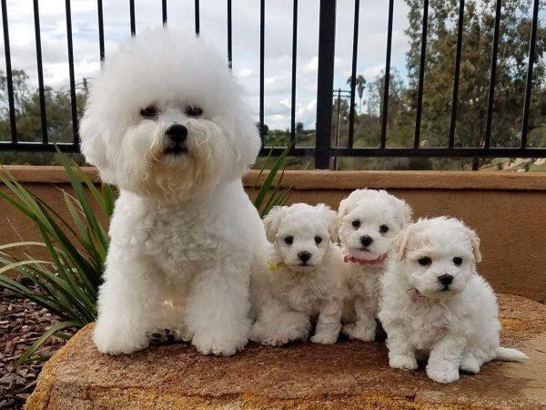 Французская болонка со щенками
