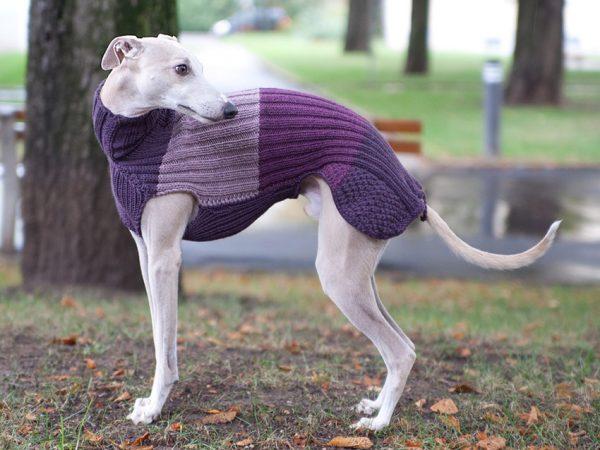 Уиппет в свитере
