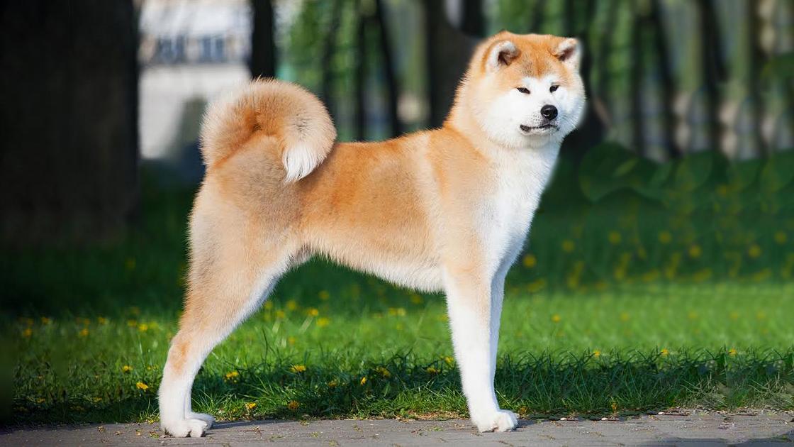 порода акита ину фото щенки года