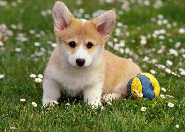 Вельш корги с мячиком