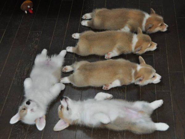Щенки корги спят