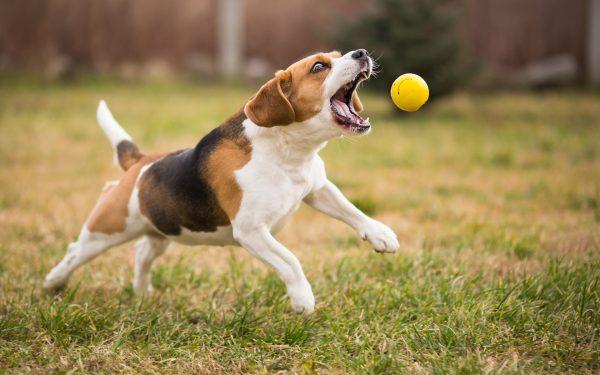 Бигль с мячом