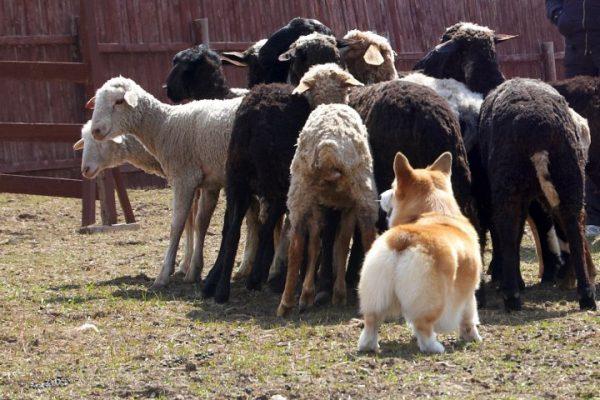Корги пасёт овец