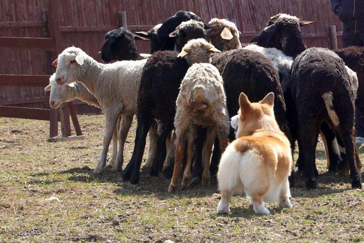 корги пасет овец видео