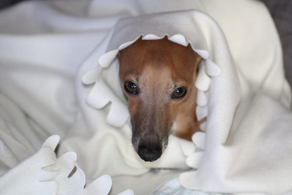 Щенок грейхаунда в одеяле