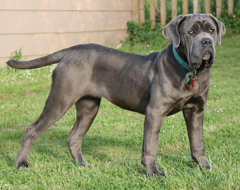 Неаполитанский мастиф: собака для сильных людей
