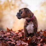 Боксёр в осенней листве