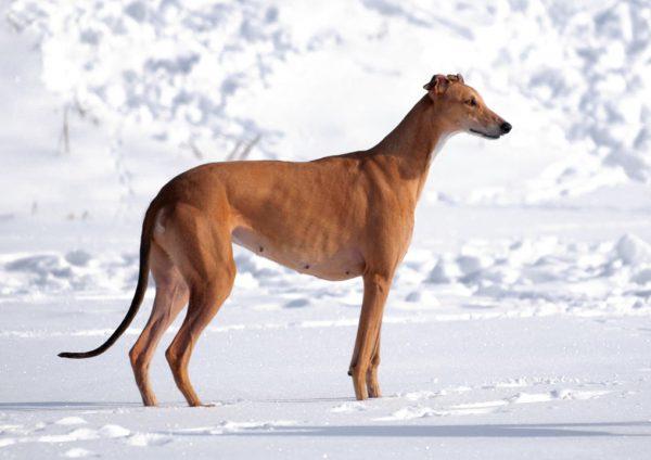 Кенгуровая собака на снегу