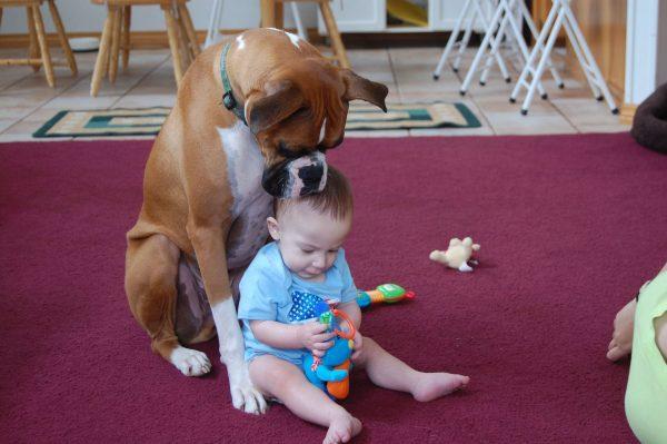 Боксёр наблюдает, как играет ребёнок