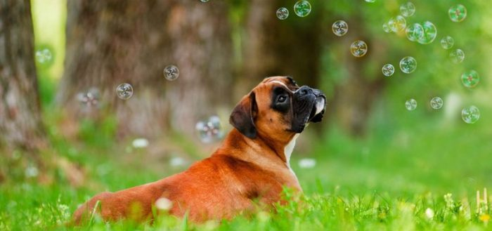 Немецкий боксёр и мыльные пузыри