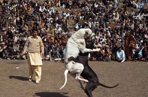 Собачий бой с гуль донгами