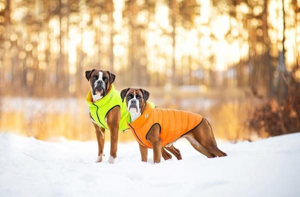 Два немецких боксёра на прогулке в зимнем лесу