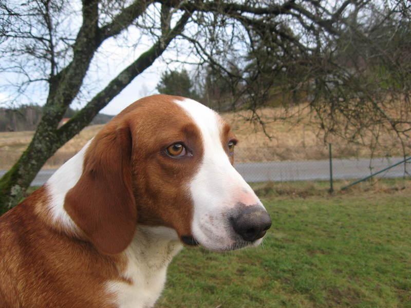 Древер — редкая и малоизвестная коротконогая гончая родом из Швеции