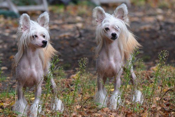Китайская хохлатая собака лысая