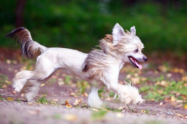 Китайская хохлатая собака бежит