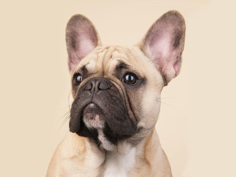 Французский бульдог: описание породы собак