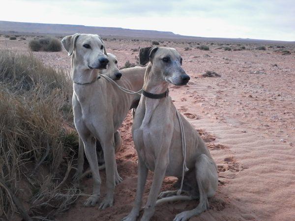 Три борзые на фоне пустыни
