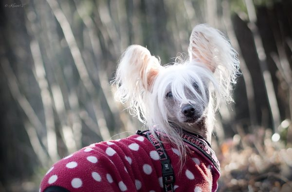 Китайская хохлатая собака в одежде