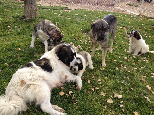 Мастиф в окружении других собак