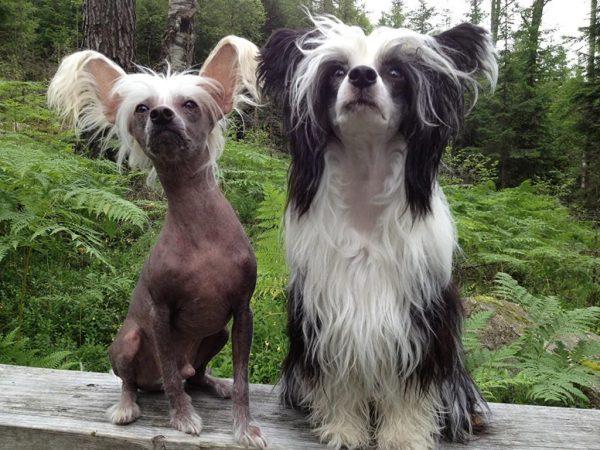 Голая и пуховая китайские собаки