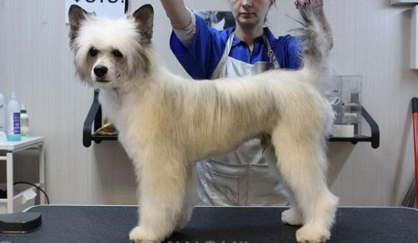 Китайская пуховая хохлатая собака у грумера