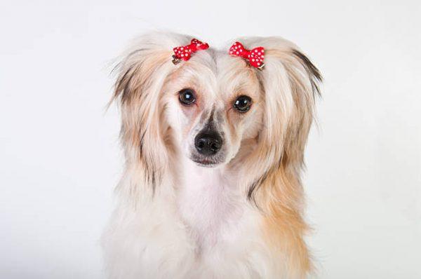 Китайская пуховая хохлатая собака с заколками