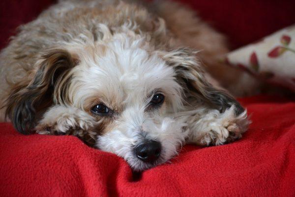 Китайская пуховая хохлатая собака лежит