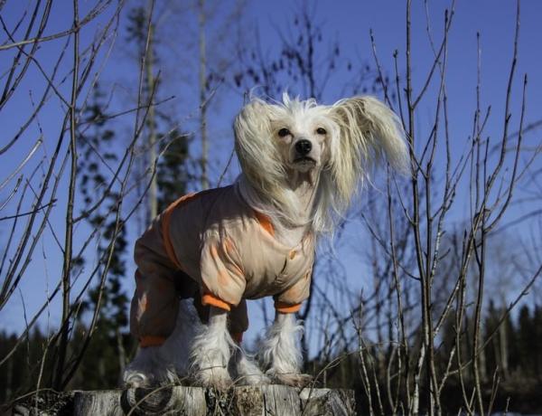 Китайская пуховая хохлатая собака на прогулке