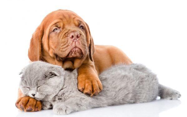 Бордос и кошка