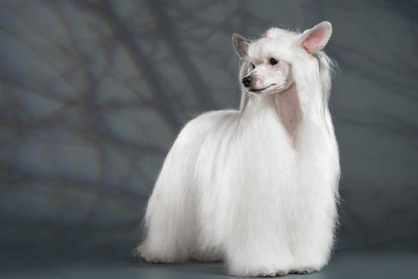 Китайская пуховая хохлатая собака