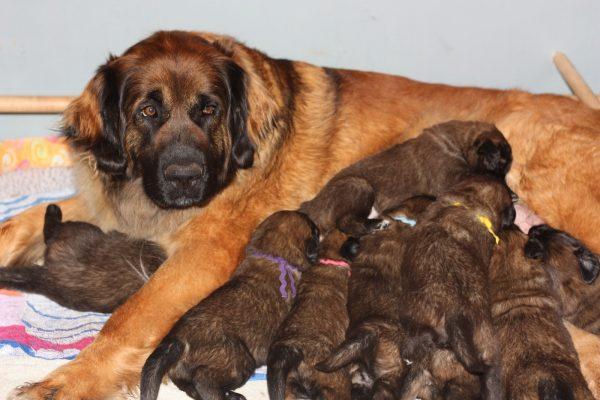 Сука леонбергера и щенки