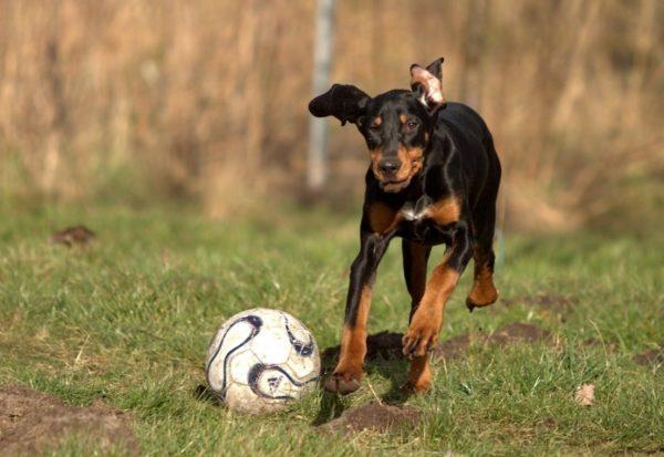Кунхаунд с мячом
