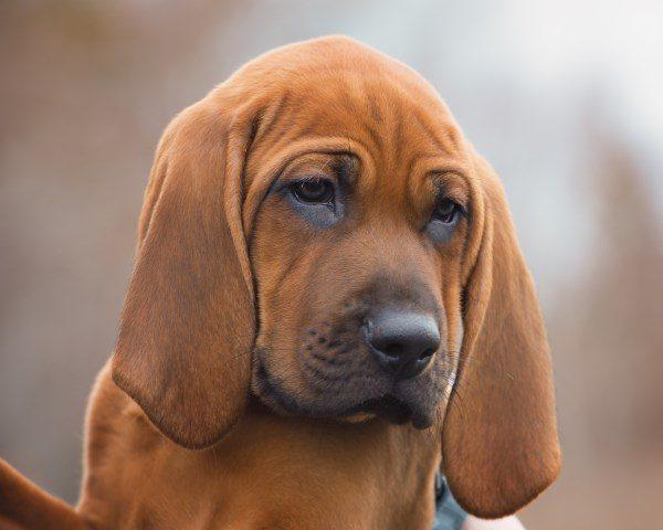 Красный кунхаунд щенок