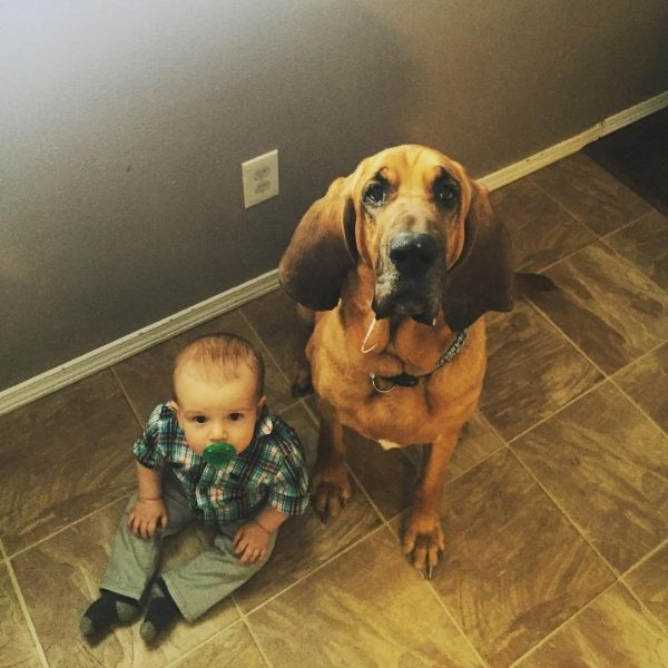 Бладхаунд и ребёнок