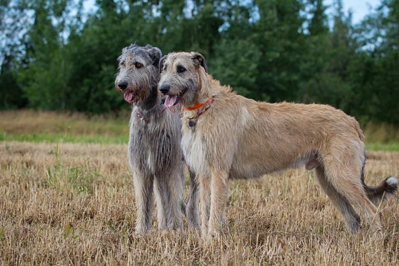 Ирландский волкодав: очень большой, но очень добрый пёс