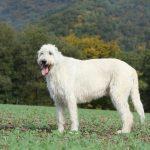 Ирландский волкодав белого окраса