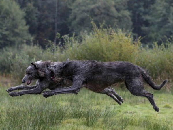 Пара ирландских волкодавов
