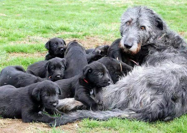 Ирландский волкодав со щенками