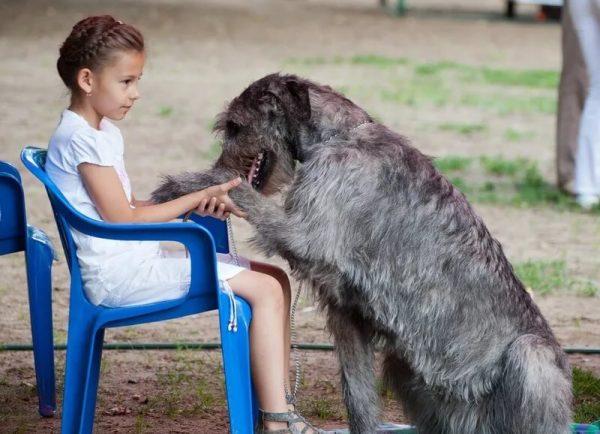 Ирландский волкодав с девочкой