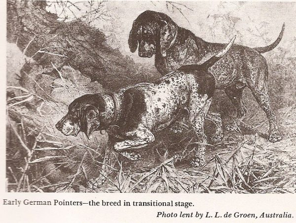 Пойнтеры в 19 веке