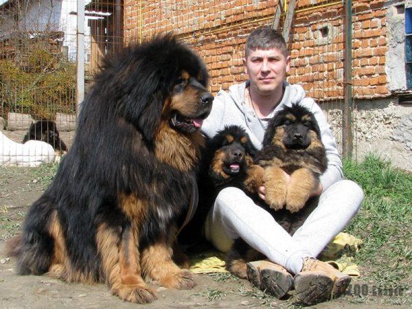 Тибетский мастиф с человеком и щенками