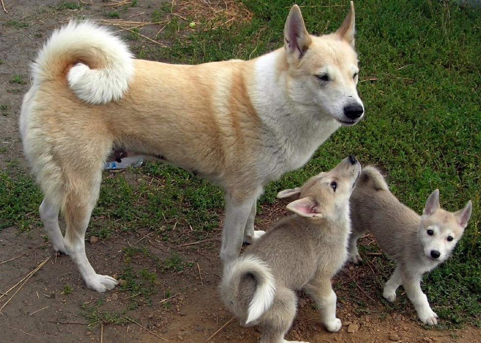 хозяева щенки лайки показать фото помещении свежий