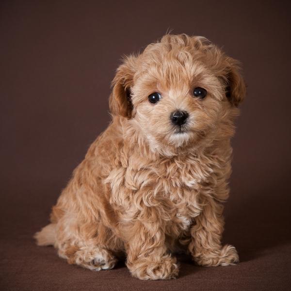 Мальтипу щенок