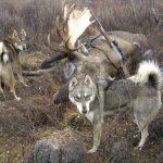 Охотничьи лайки