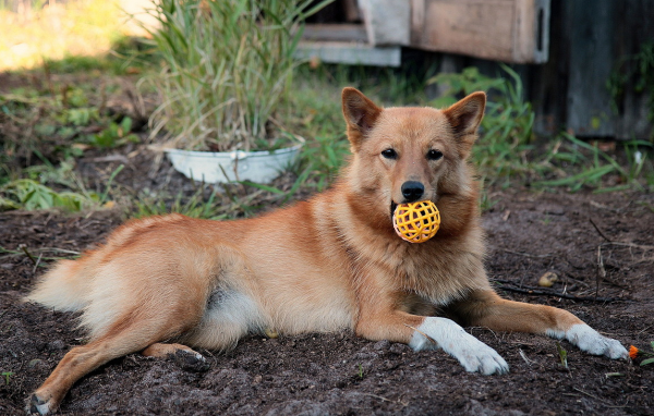 Финский шпиц с мячиком