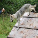 Чешский волчек