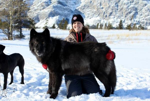 Русский вольфхунд в стойке